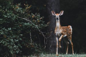 startled fawn