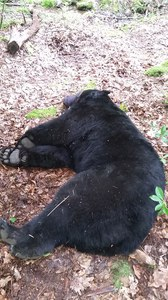 400-lb bear capture2