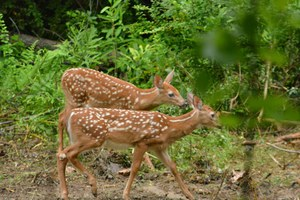 big fawns