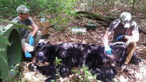 400-lb bear capture3