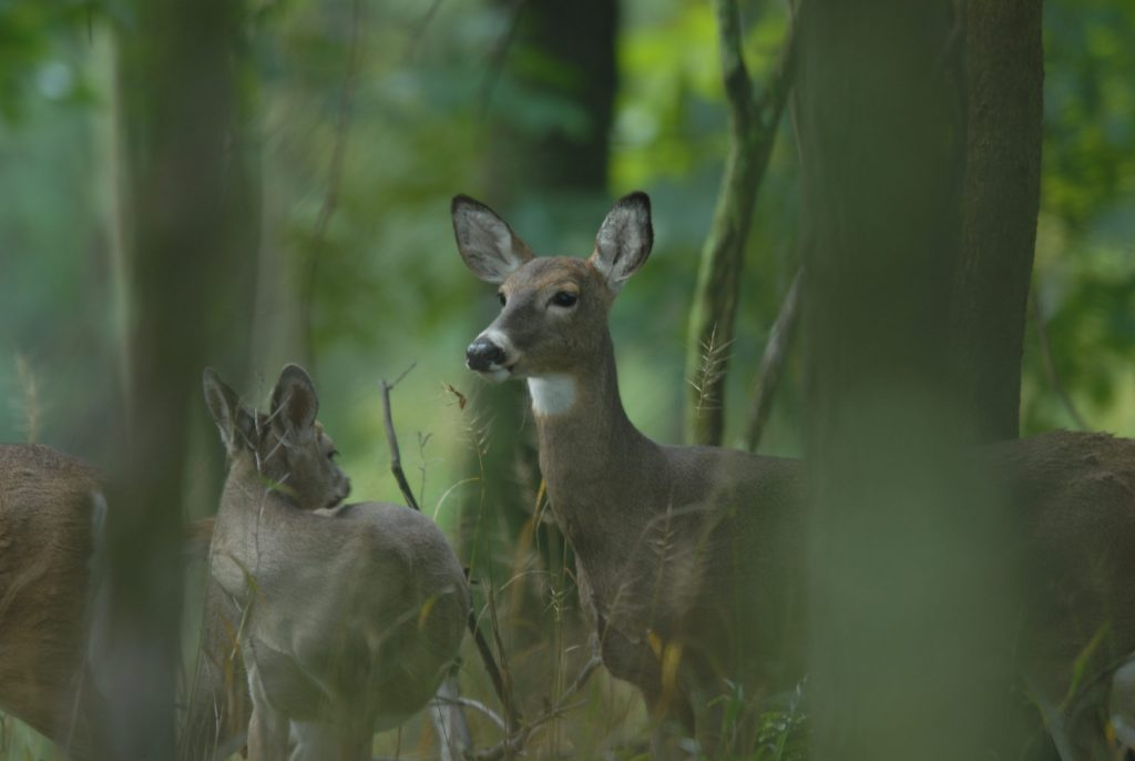 deer alert in forest