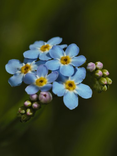 pic4-forget me not