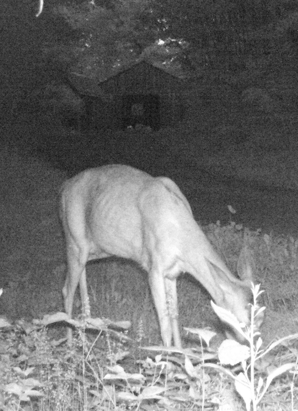 Guest trail cam-lactating doe