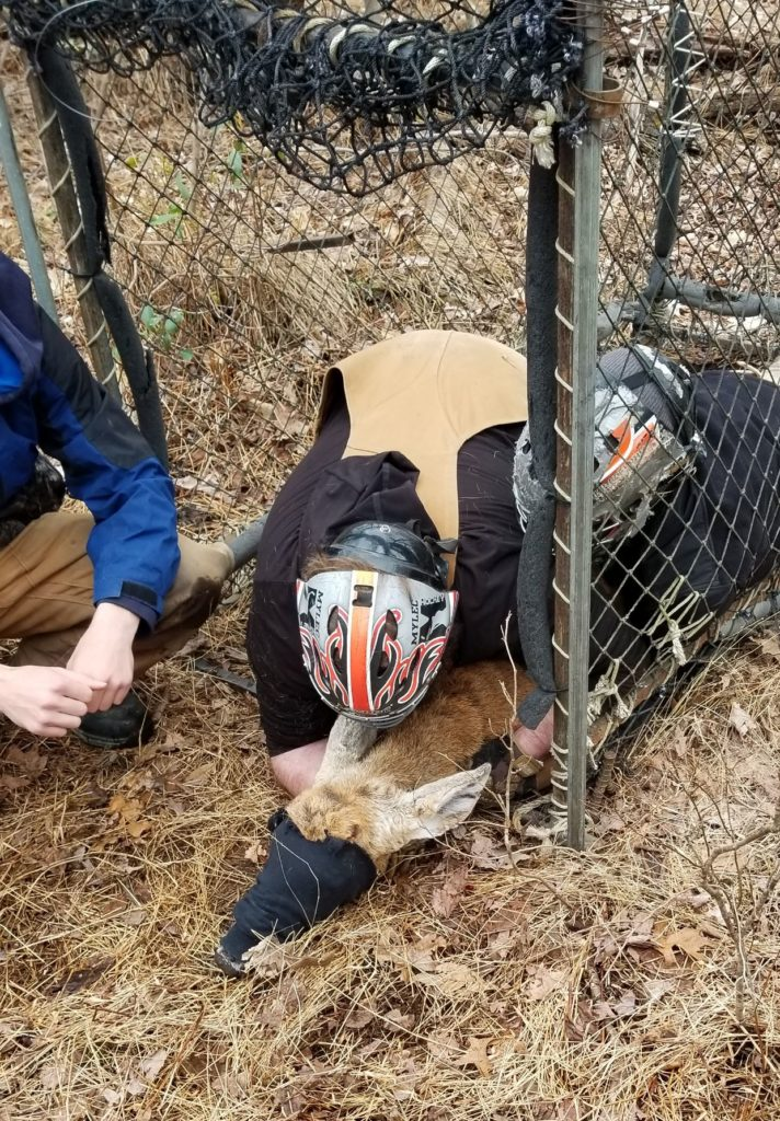 deer being restrained in clover trap