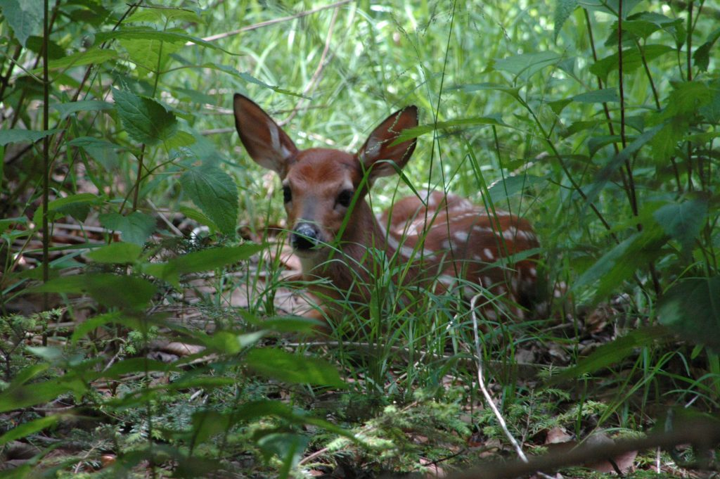fawn in woods June