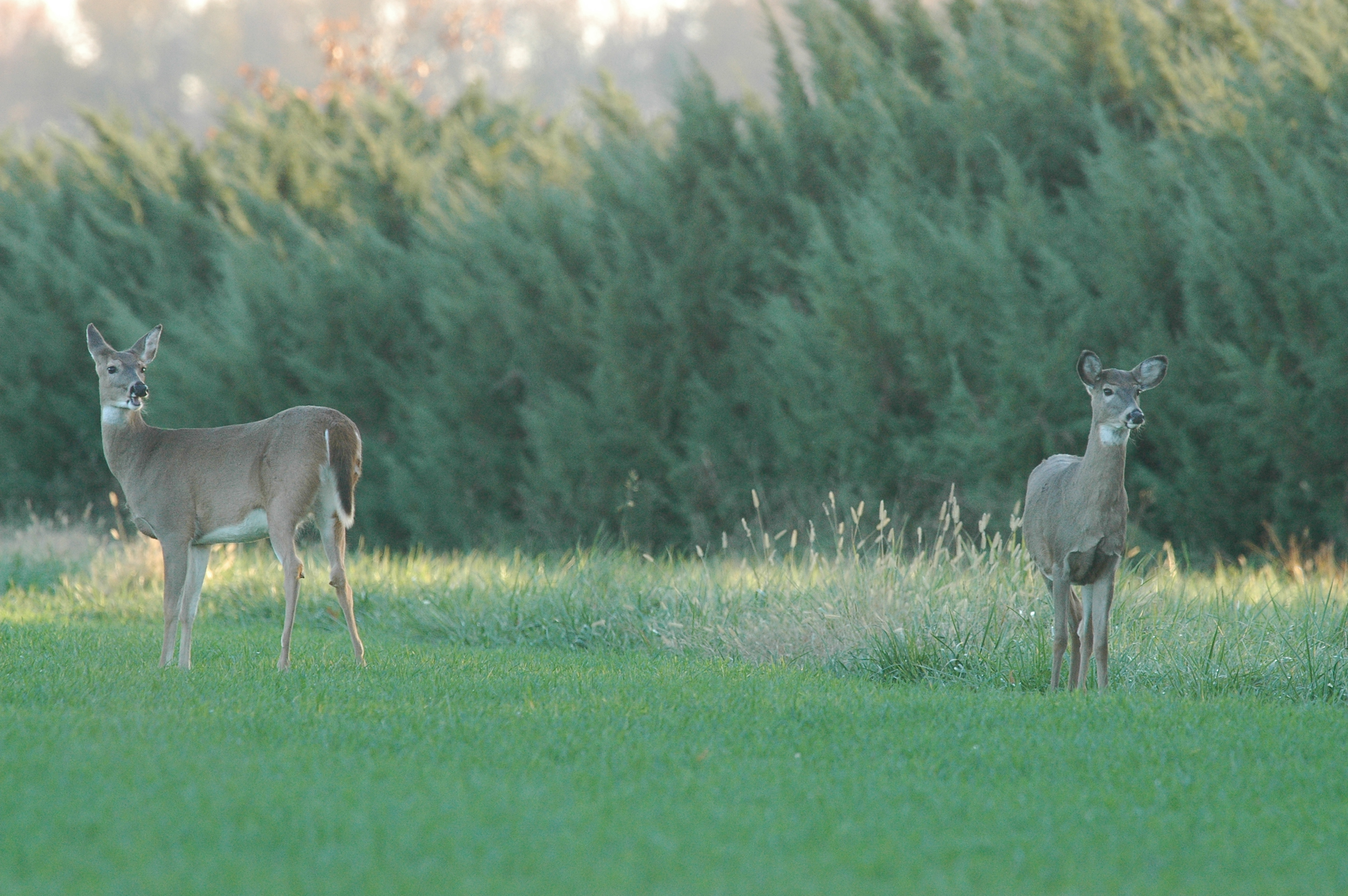2 does standing in field