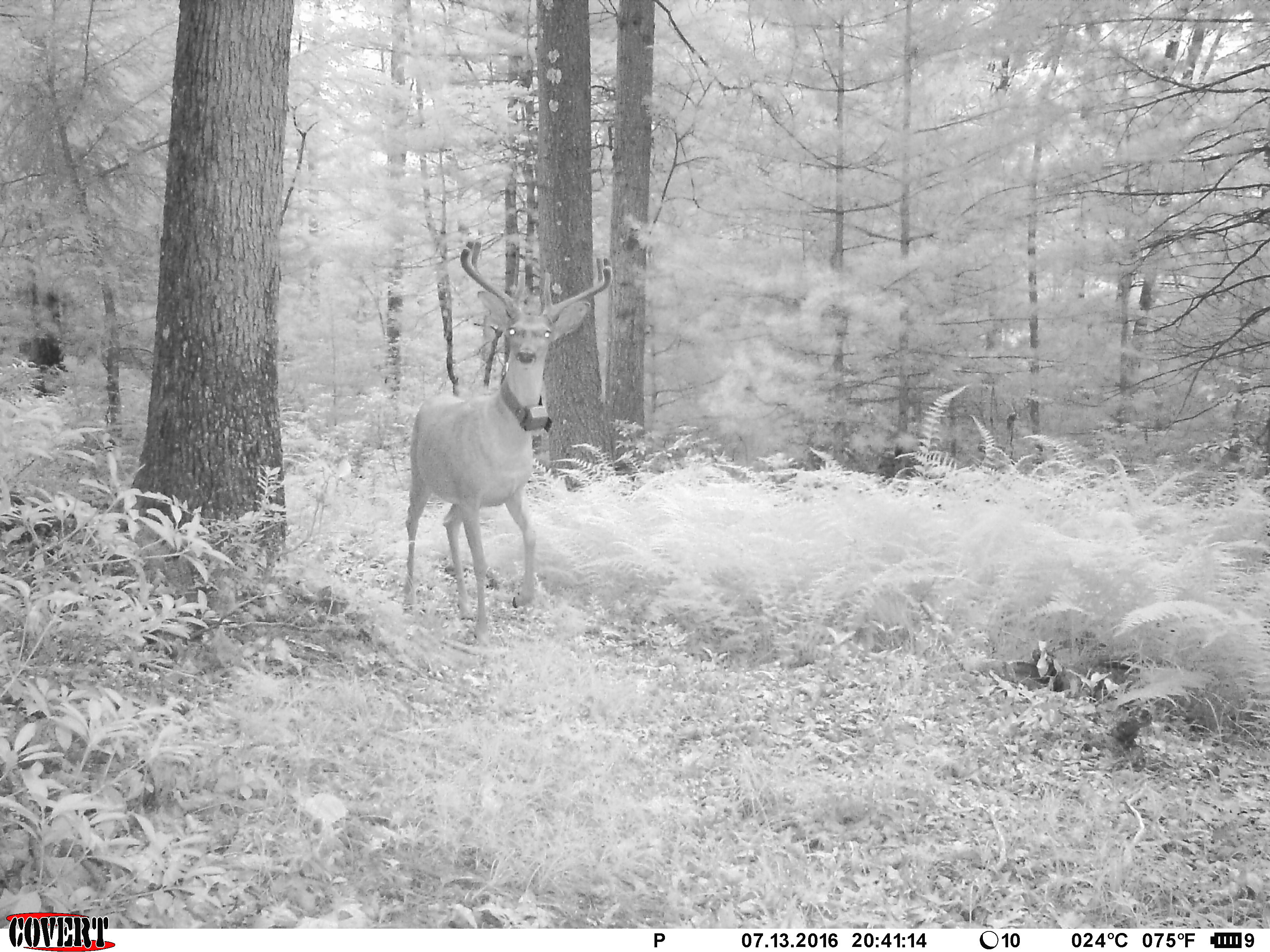 Radio-collared male white-tailed deer in Pennsylvania