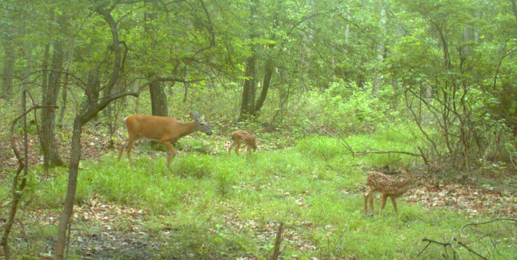 Doe with 2 fawns in June