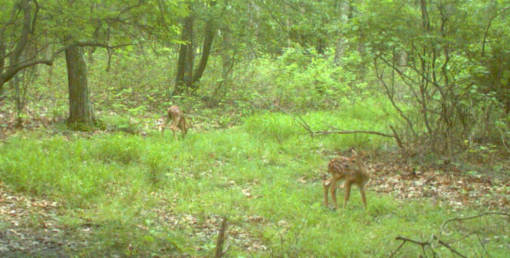 Fawns in Jun at trailcam
