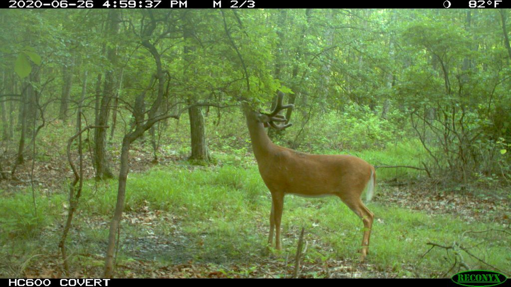 buck in velvet using licking branch