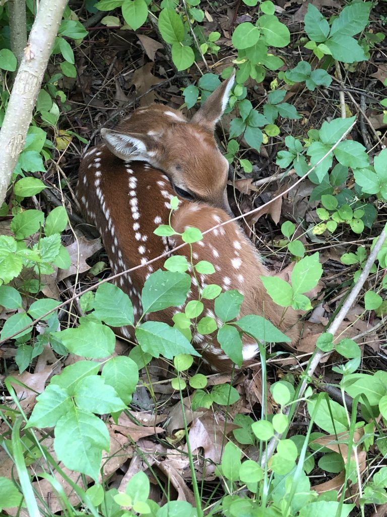 fawn curled in poison ivy