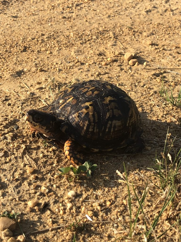 box turtle on dirt road