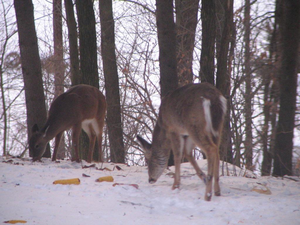 deer feeding on cob corn in snow