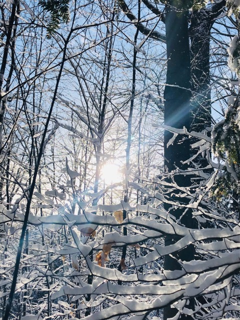 sun shining through snow-covered trees